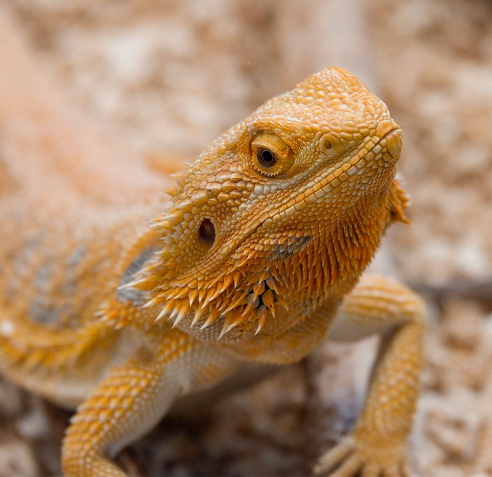 yellow bearded dragon pogona vitticeps lizard looking at the camera close up in exotic pet boarding at the animal tender pet resort